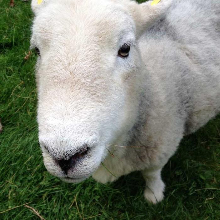sheep-orig
