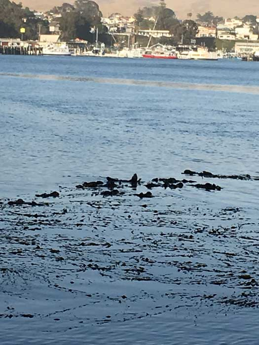 Otters at Morro Bay State Park